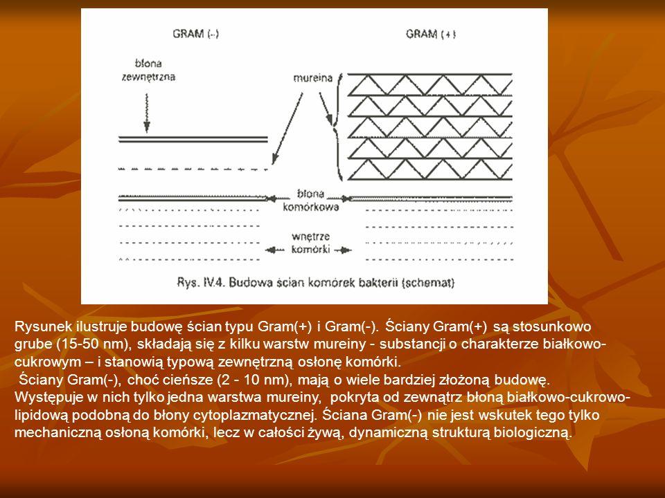 Rysunek ilustruje budowę ścian typu Gram(+) i Gram(-)