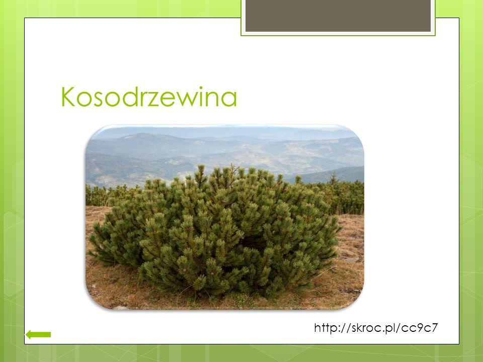 Kosodrzewina http://skroc.pl/cc9c7