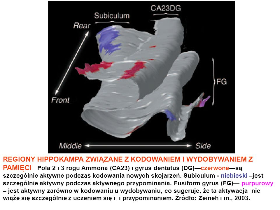 REGIONY HIPPOKAMPA ZWIĄZANE Z KODOWANIEM I WYDOBYWANIEM Z PAMIĘCI Pola 2 i 3 rogu Ammona (CA23) i gyrus dentatus (DG)—czerwone—są szczególnie aktywne podczas kodowania nowych skojarzeń.