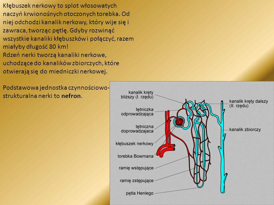 Kłębuszek nerkowy to splot włosowatych naczyń krwionośnych otoczonych torebka.
