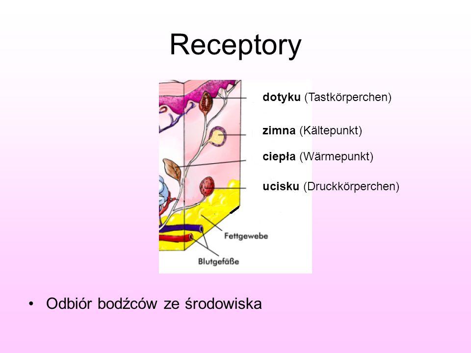 Receptory Odbiór bodźców ze środowiska dotyku (Tastkörperchen)