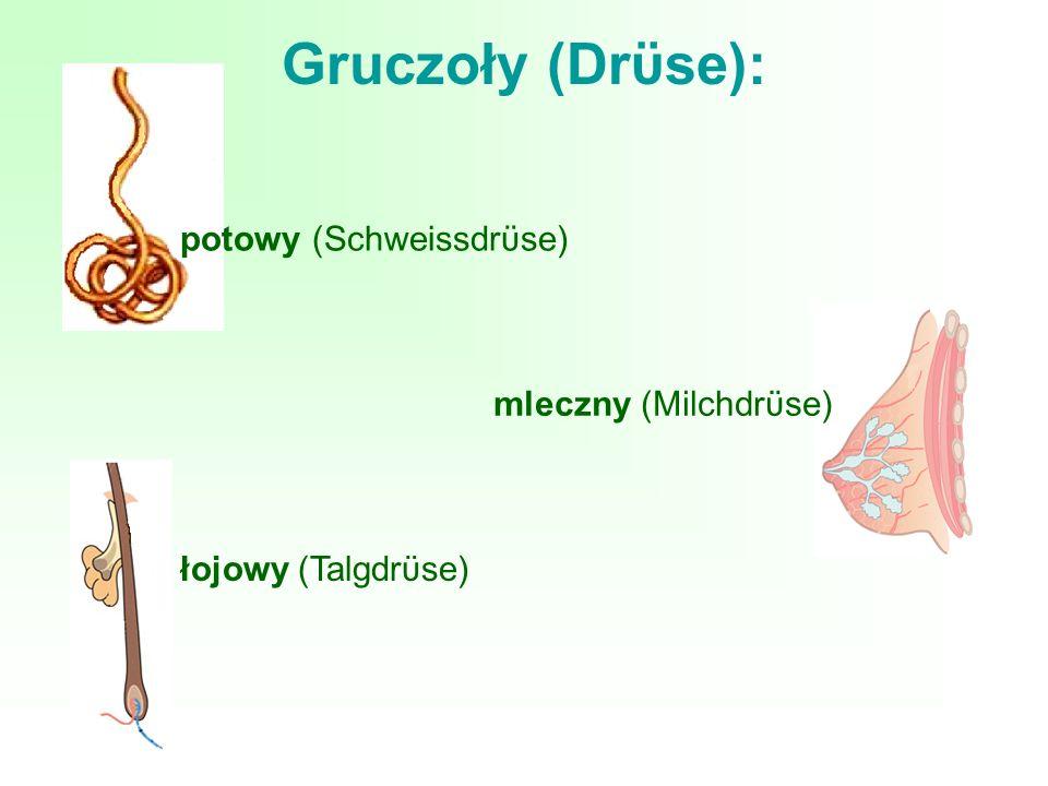 Gruczoły (Drϋse): potowy (Schweissdrϋse) mleczny (Milchdrϋse)