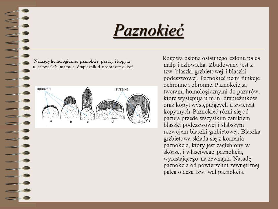 Paznokieć Narządy homologiczne: paznokcie, pazury i kopyta a. człowiek b. małpa c. drapieżnik d. nosorożec e. koń.