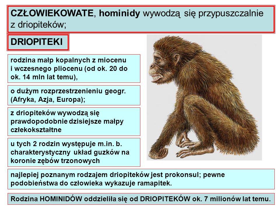 CZŁOWIEKOWATE, hominidy wywodzą się przypuszczalnie z driopiteków;