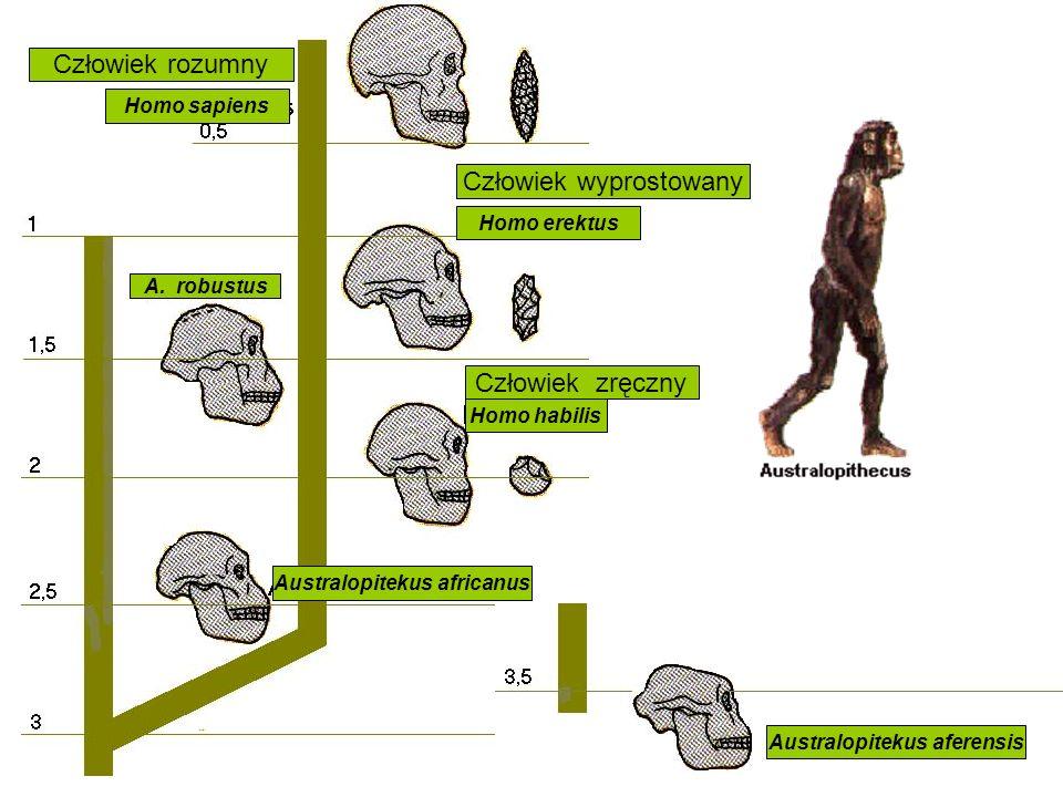 Australopitekus africanus Australopitekus aferensis