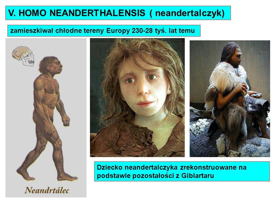 V. HOMO NEANDERTHALENSIS ( neandertalczyk)
