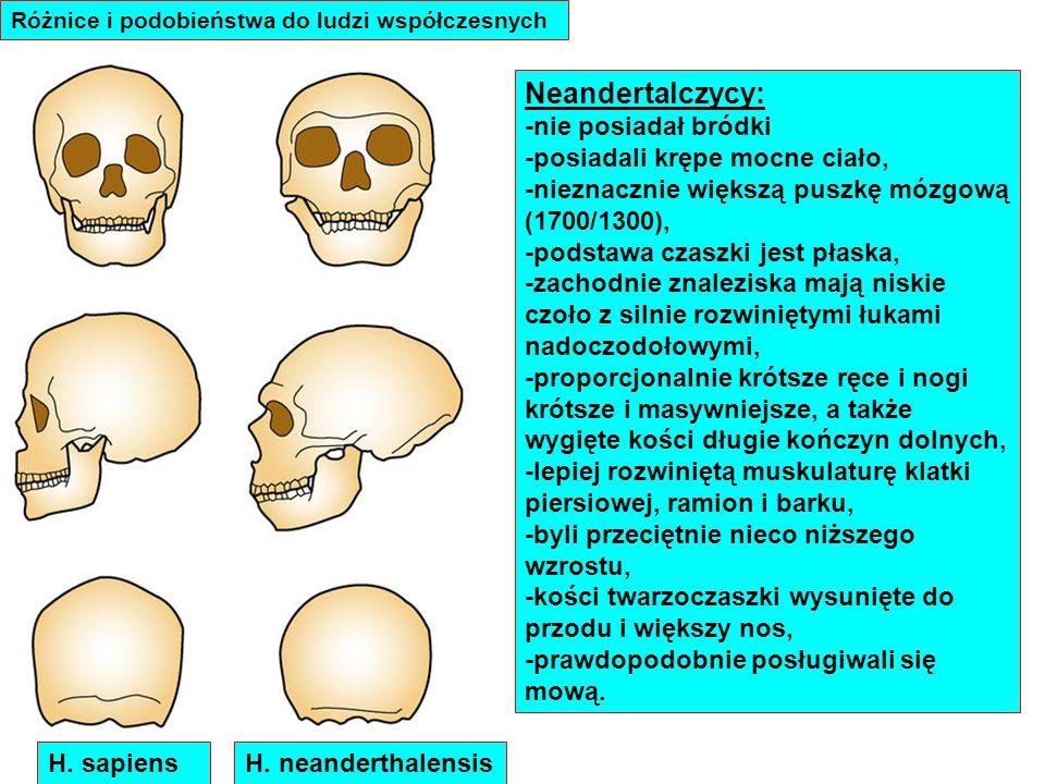 Neandertalczycy: -nie posiadał bródki -posiadali krępe mocne ciało,