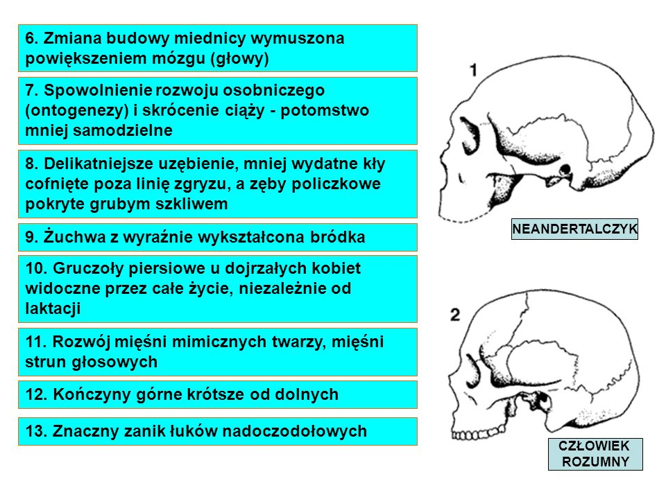 6. Zmiana budowy miednicy wymuszona powiększeniem mózgu (głowy)