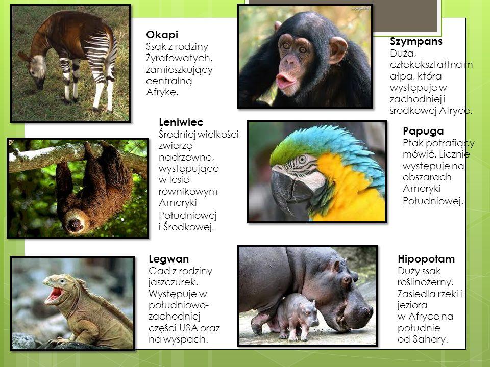 Okapi Leniwiec Szympans Legwan Hipopotam Papuga Ssak z rodziny
