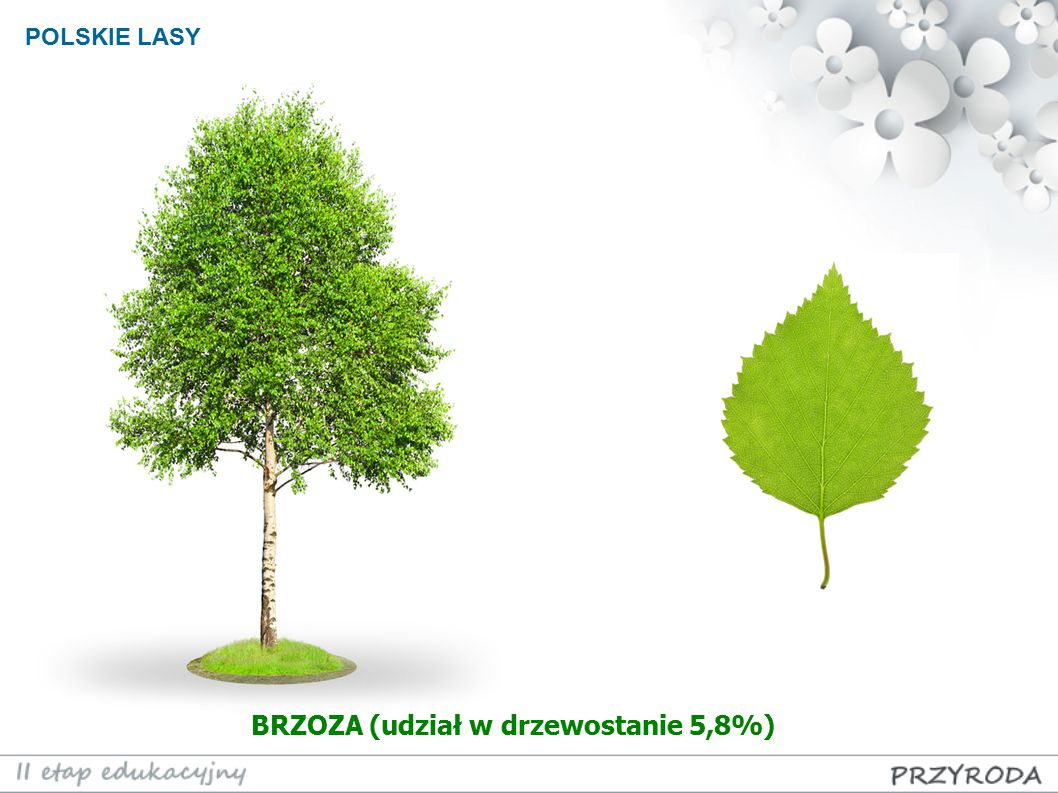 BRZOZA (udział w drzewostanie 5,8%)