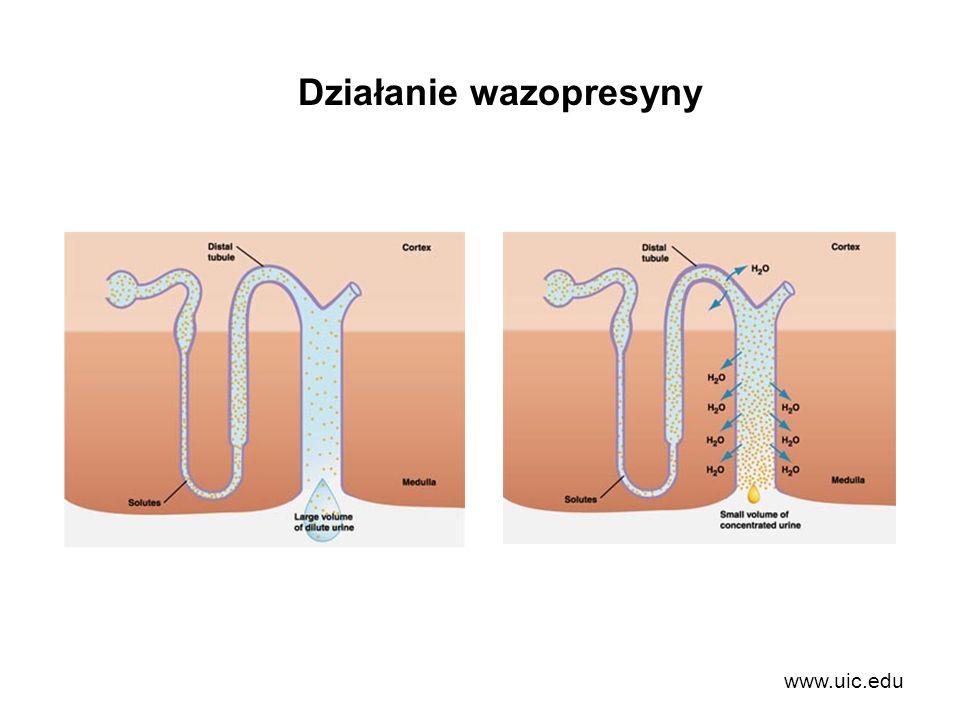 Działanie wazopresyny