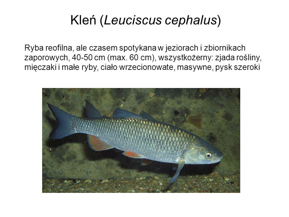 Kleń (Leuciscus cephalus)