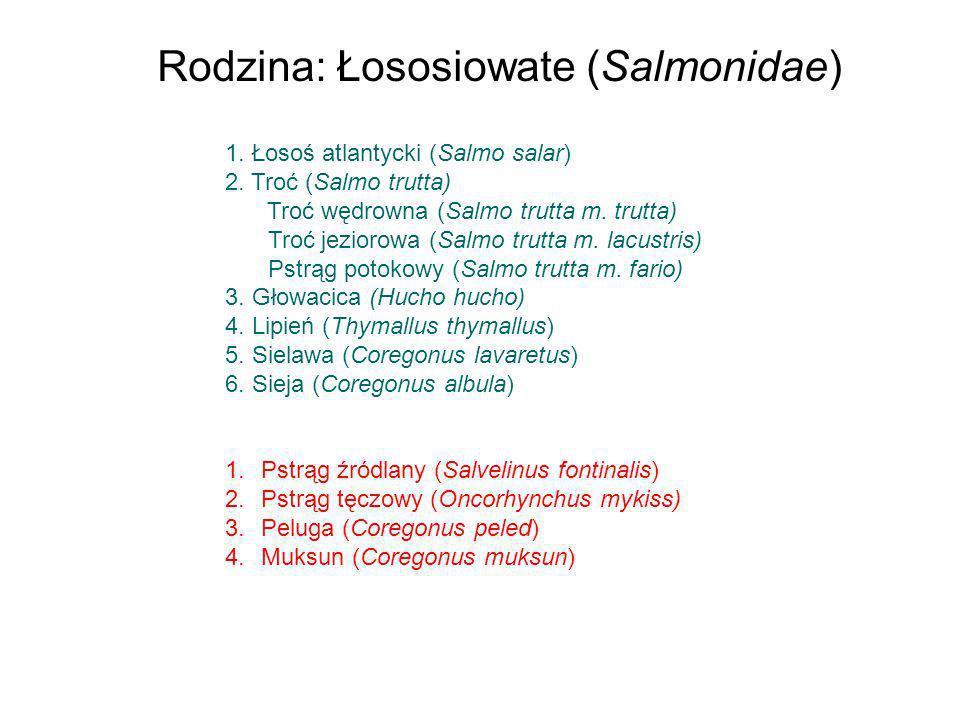 Rodzina: Łososiowate (Salmonidae)