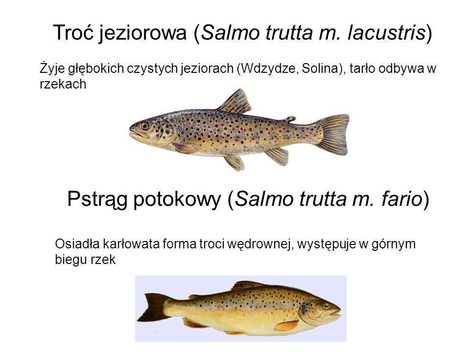 Troć jeziorowa (Salmo trutta m. lacustris)