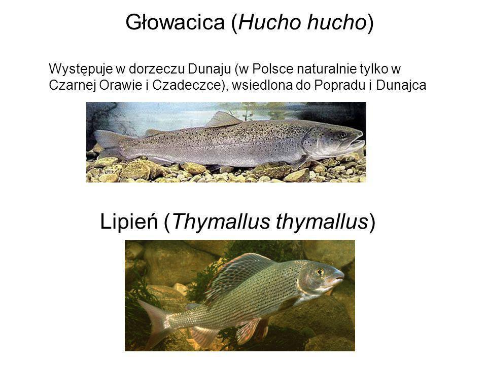 Głowacica (Hucho hucho)