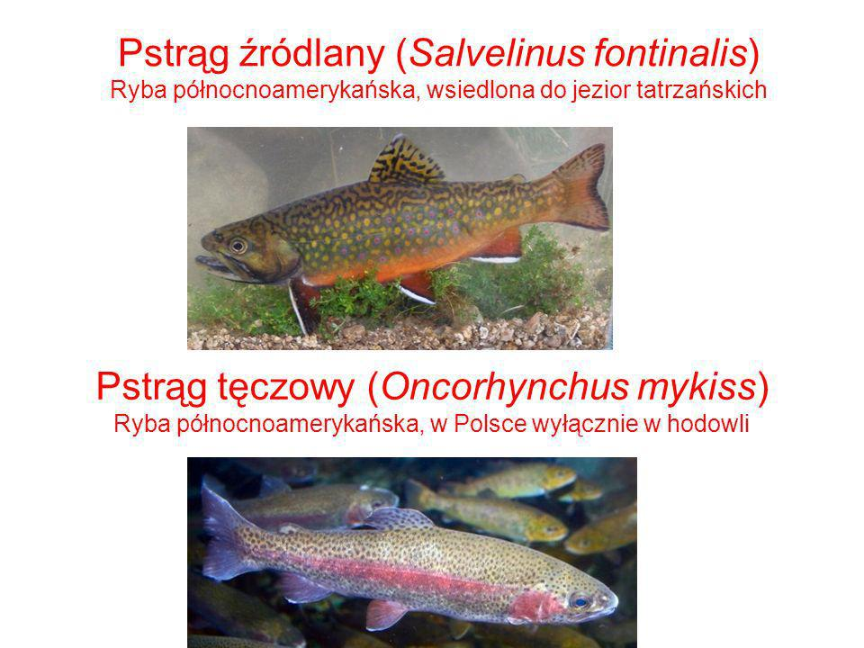 Pstrąg źródlany (Salvelinus fontinalis) Ryba północnoamerykańska, wsiedlona do jezior tatrzańskich