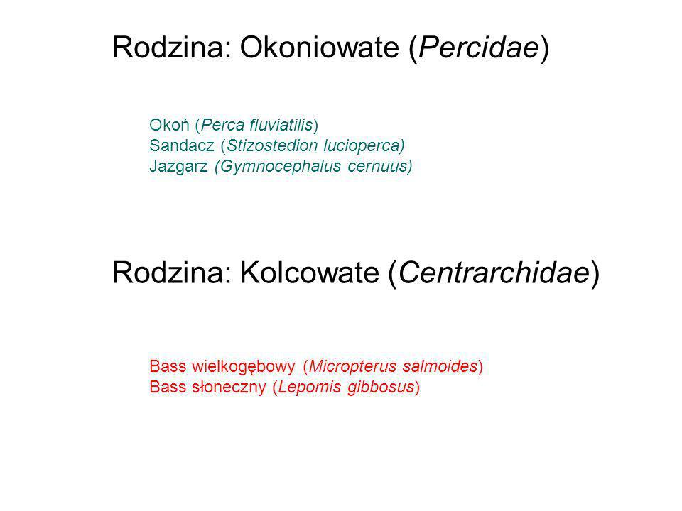 Rodzina: Okoniowate (Percidae)