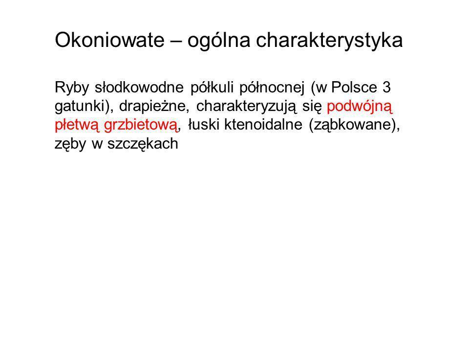 Okoniowate – ogólna charakterystyka