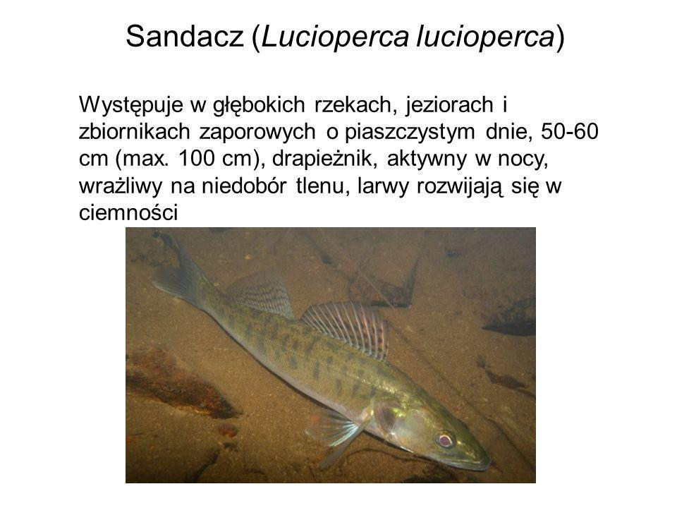 Sandacz (Lucioperca lucioperca)