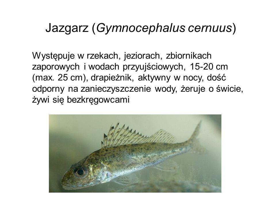 Jazgarz (Gymnocephalus cernuus)