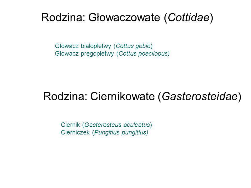 Rodzina: Głowaczowate (Cottidae)