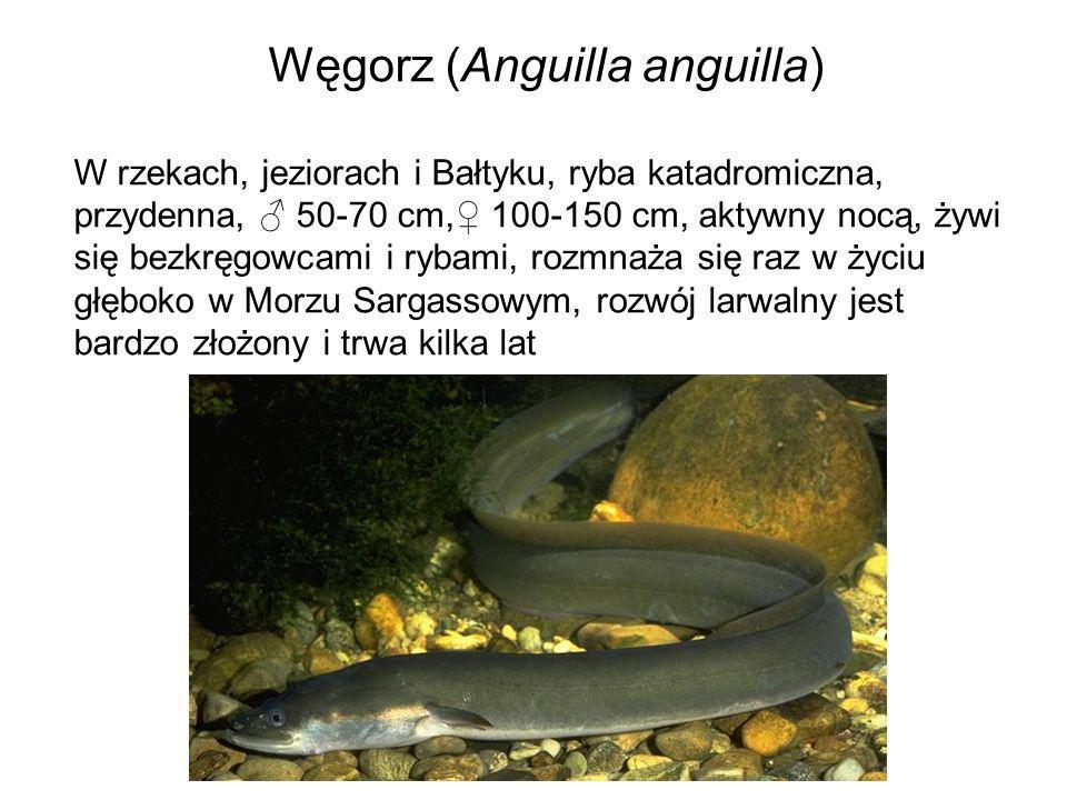 Węgorz (Anguilla anguilla)