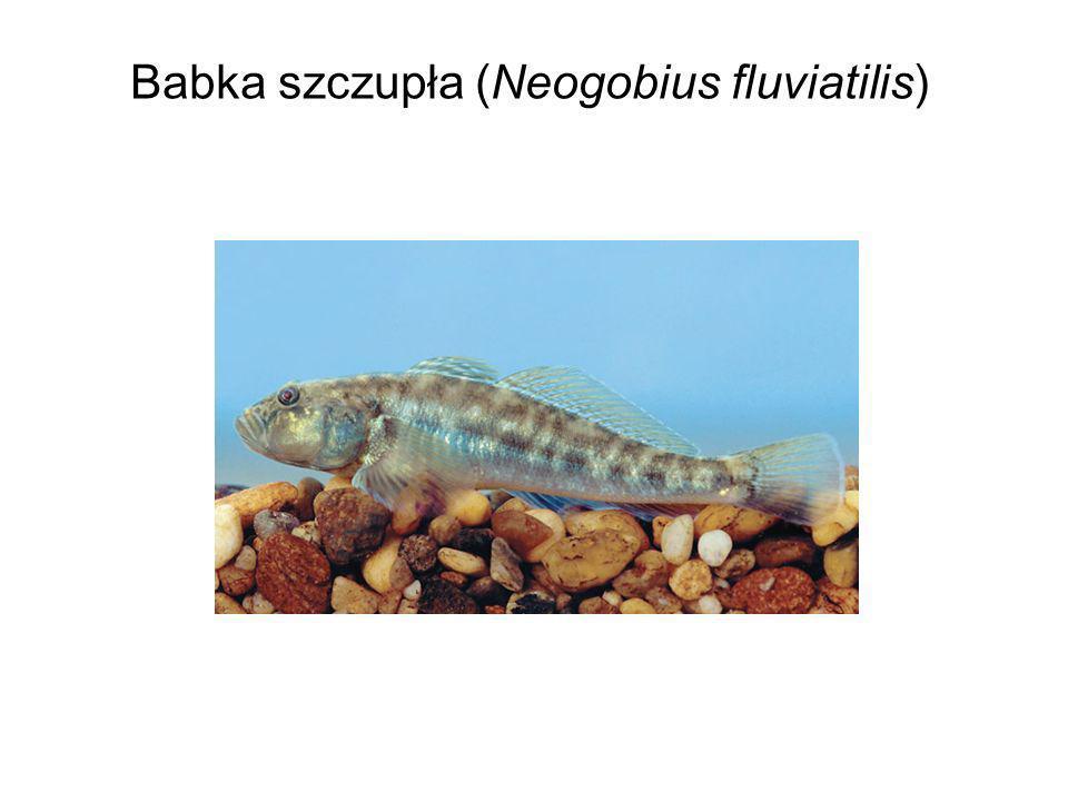 Babka szczupła (Neogobius fluviatilis)