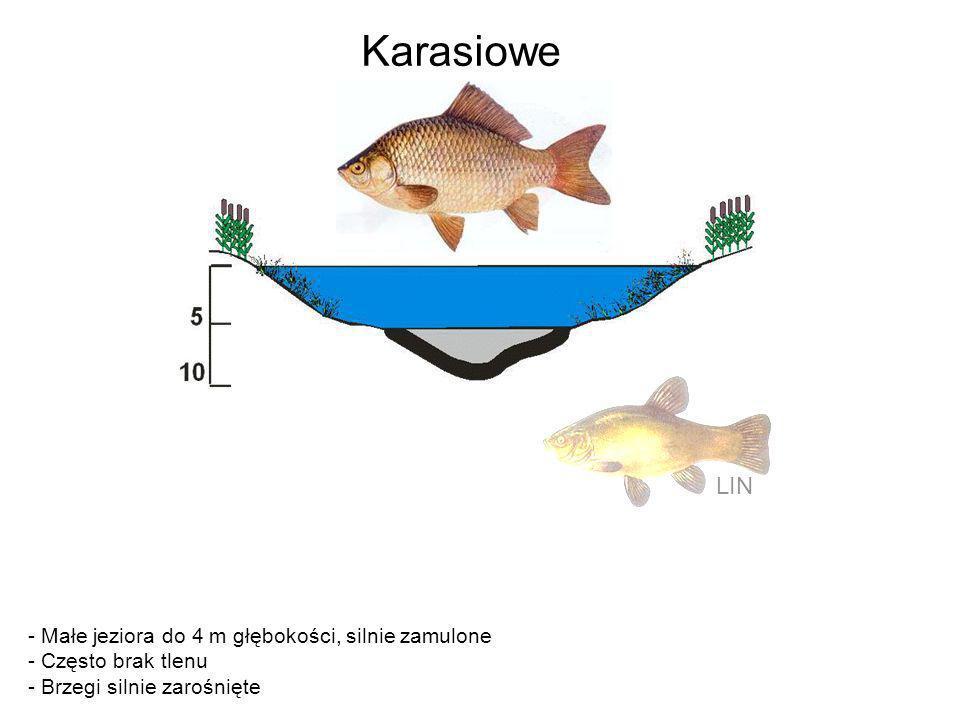 Karasiowe LIN - Małe jeziora do 4 m głębokości, silnie zamulone