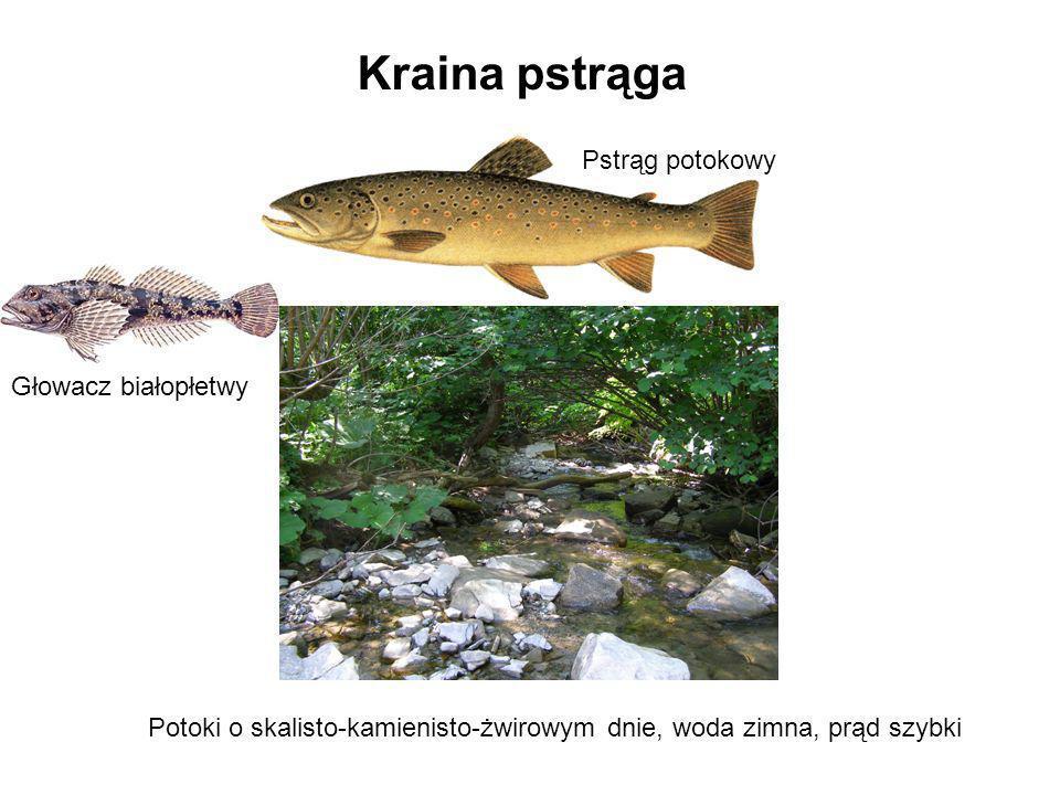 Kraina pstrąga Pstrąg potokowy Głowacz białopłetwy