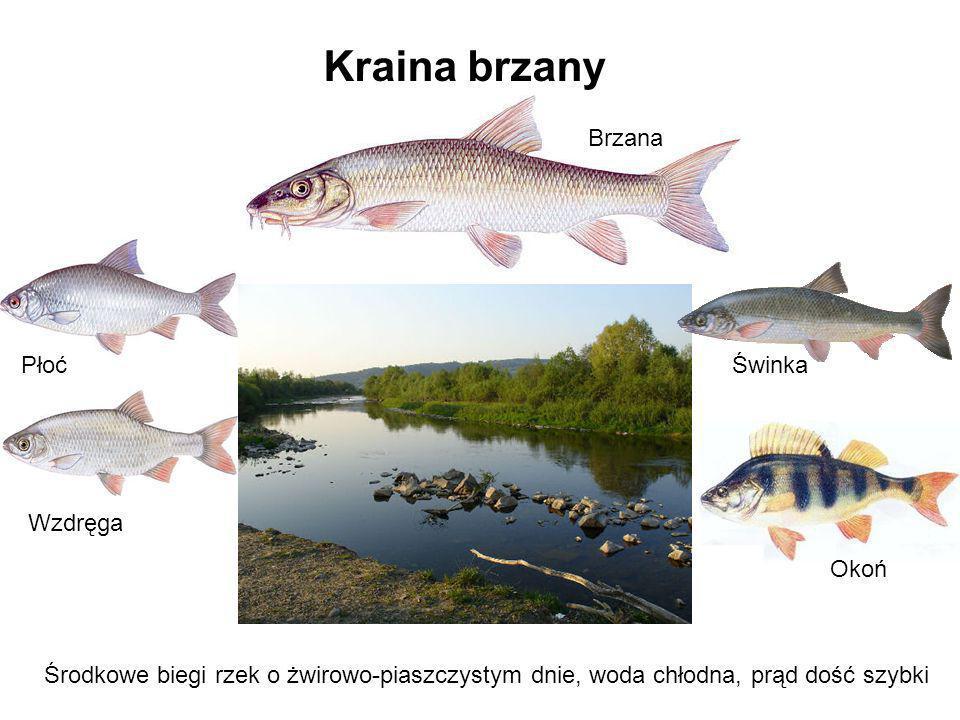 Kraina brzanyŚwinka. Środkowe biegi rzek o żwirowo-piaszczystym dnie, woda chłodna, prąd dość szybki.