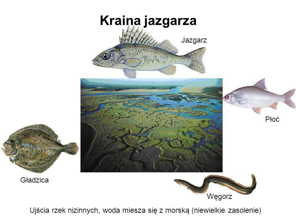 Kraina jazgarza Jazgarz Płoć Gładzica Węgorz