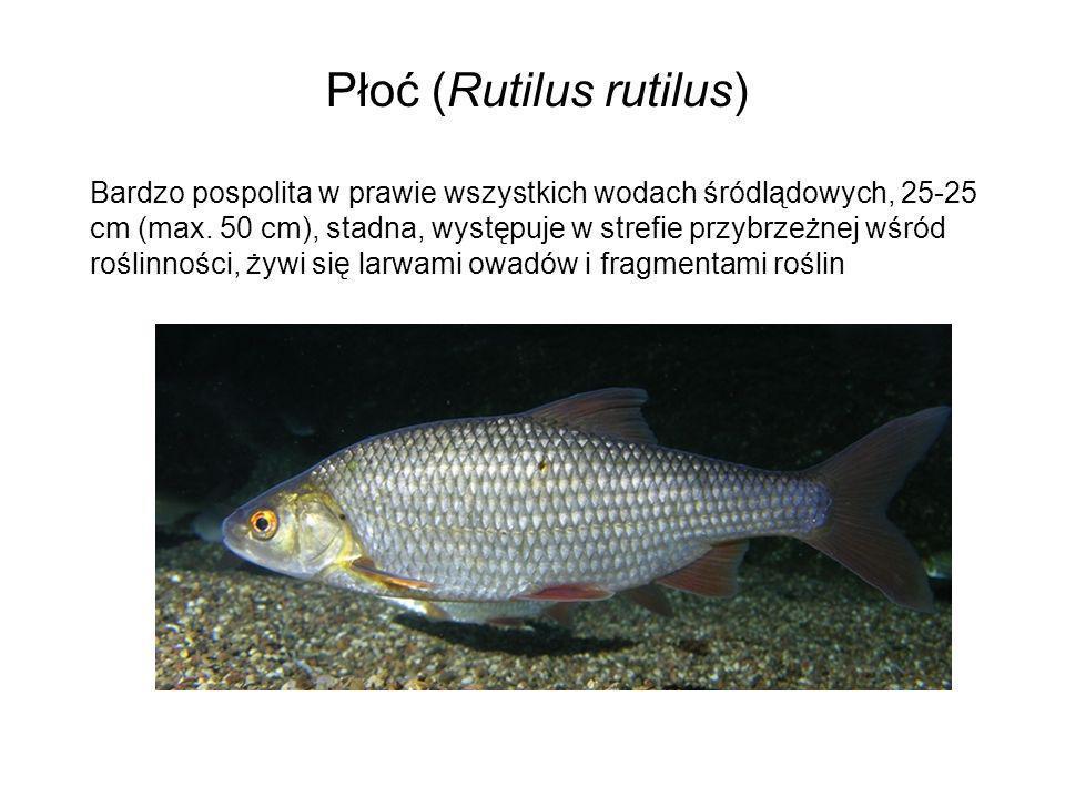 Płoć (Rutilus rutilus)