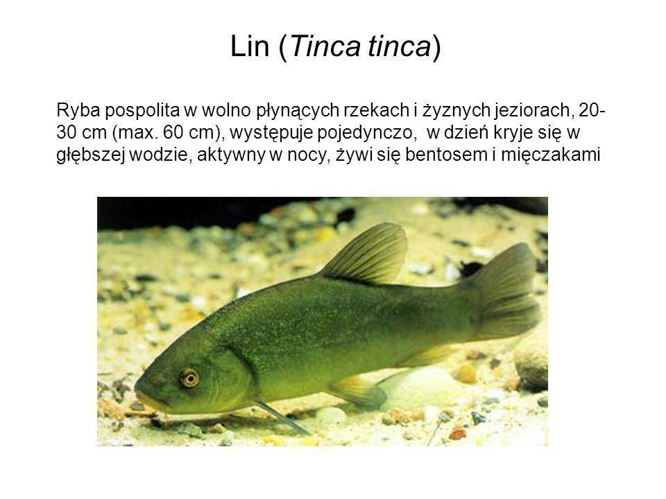 Lin (Tinca tinca)