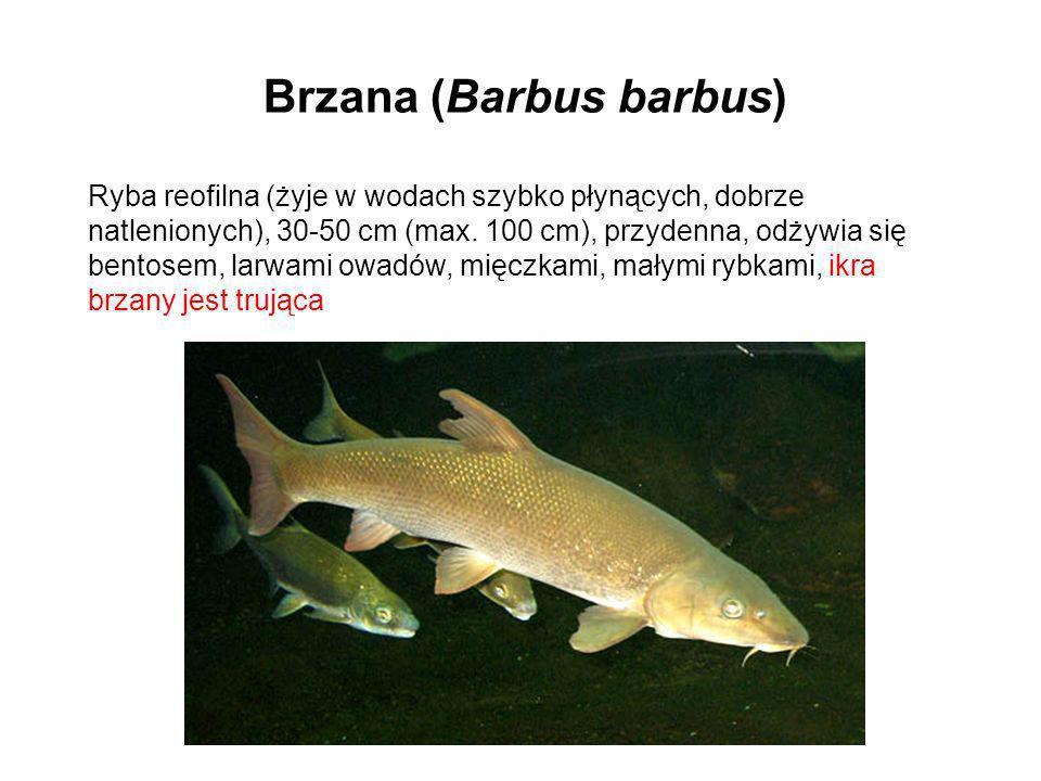 Brzana (Barbus barbus)