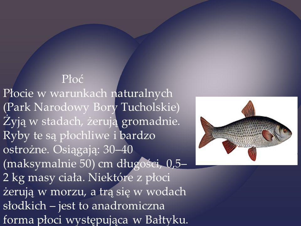 Płoć Płocie w warunkach naturalnych (Park Narodowy Bory Tucholskie) Żyją w stadach, żerują gromadnie.