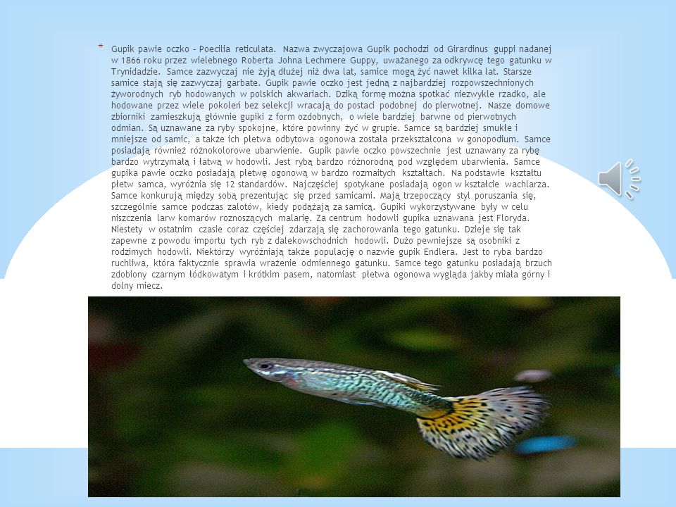 Gupik pawie oczko – Poecilia reticulata