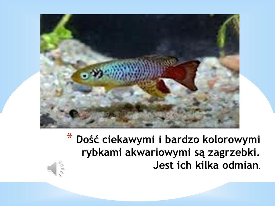 Dość ciekawymi i bardzo kolorowymi rybkami akwariowymi są zagrzebki
