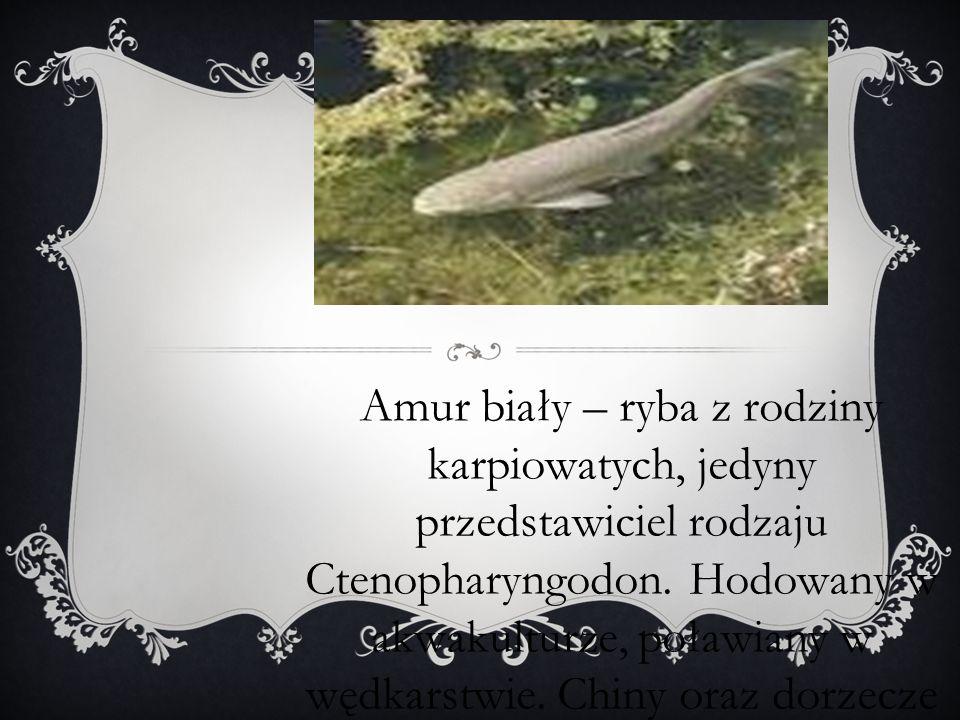 1To jest Amur Biały.