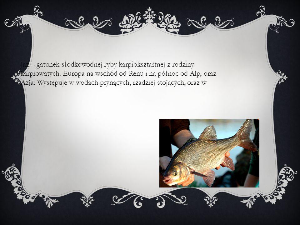 Jaź – gatunek słodkowodnej ryby karpiokształtnej z rodziny karpiowatych.