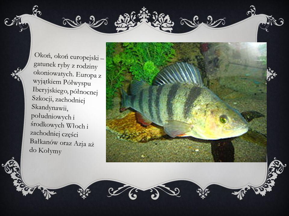 Okoń, okoń europejski – gatunek ryby z rodziny okoniowatych
