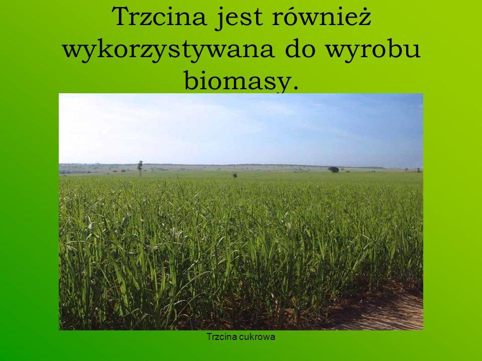 Trzcina jest również wykorzystywana do wyrobu biomasy.