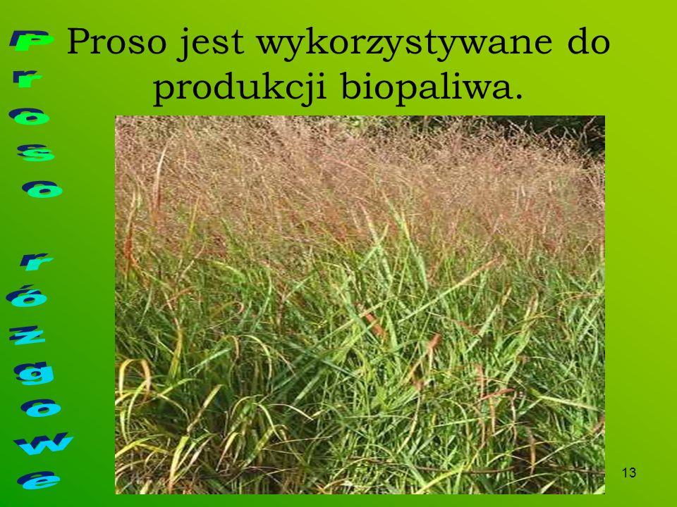 Proso jest wykorzystywane do produkcji biopaliwa.