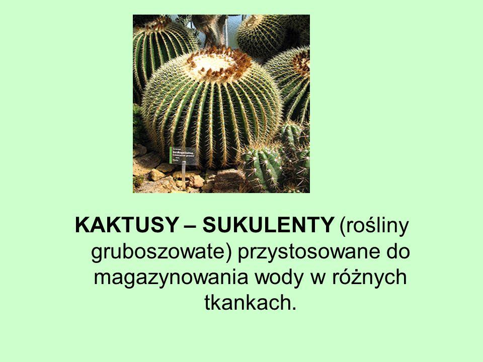 KAKTUSY – SUKULENTY (rośliny gruboszowate) przystosowane do magazynowania wody w różnych tkankach.