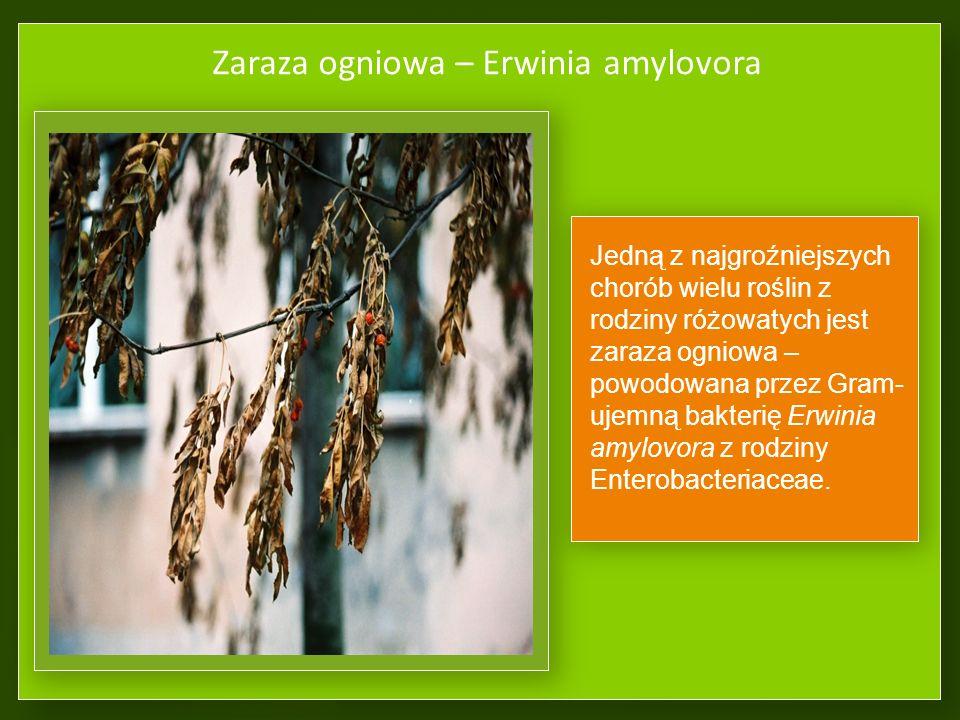Zaraza ogniowa – Erwinia amylovora