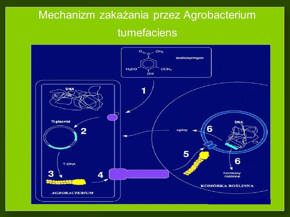 Mechanizm zakażania przez Agrobacterium tumefaciens