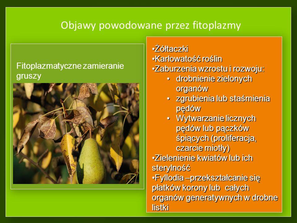 Objawy powodowane przez fitoplazmy