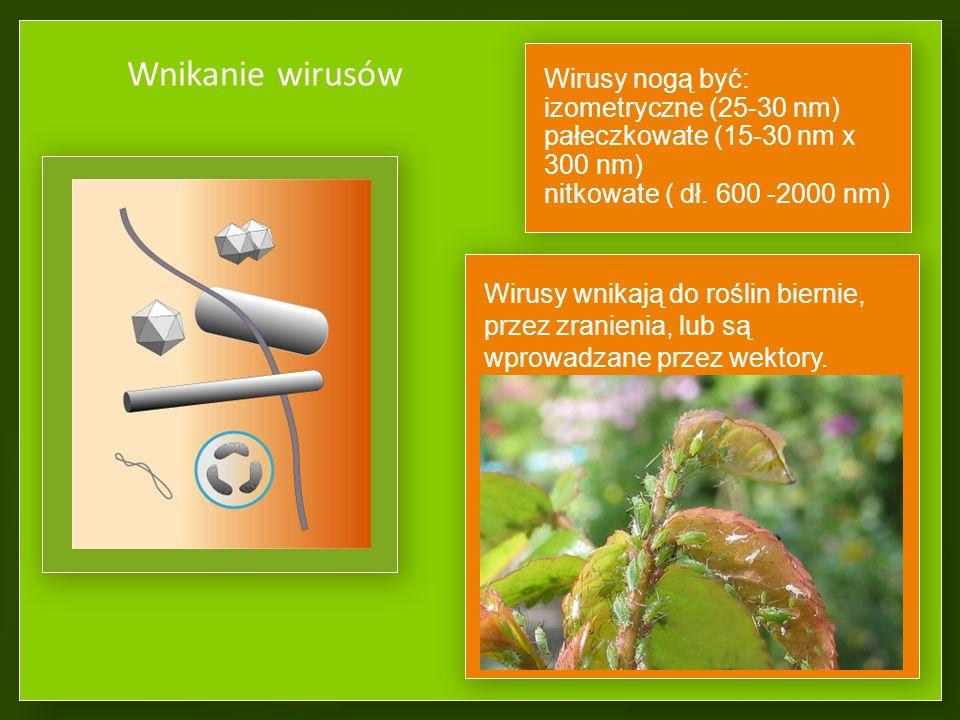 Wnikanie wirusów Wirusy nogą być: izometryczne (25-30 nm)