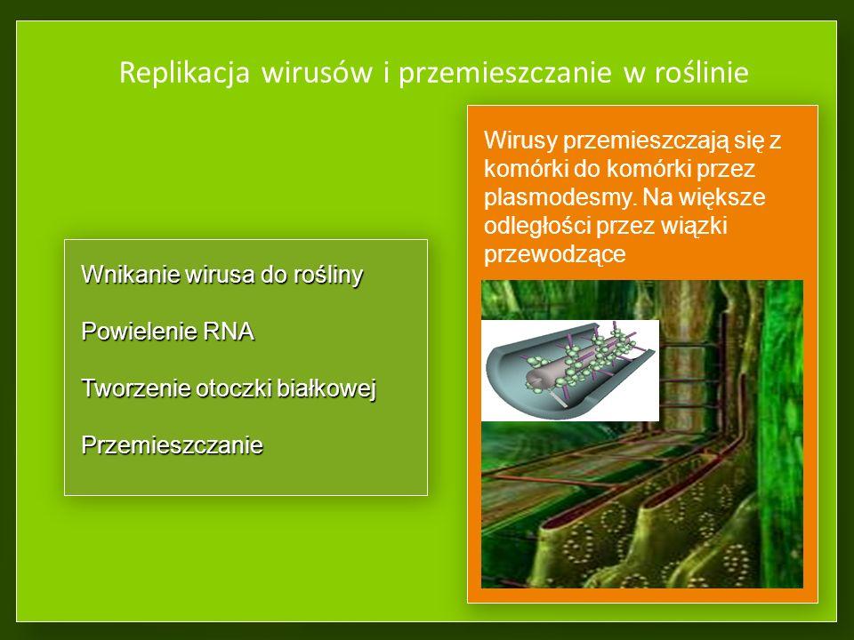 Replikacja wirusów i przemieszczanie w roślinie