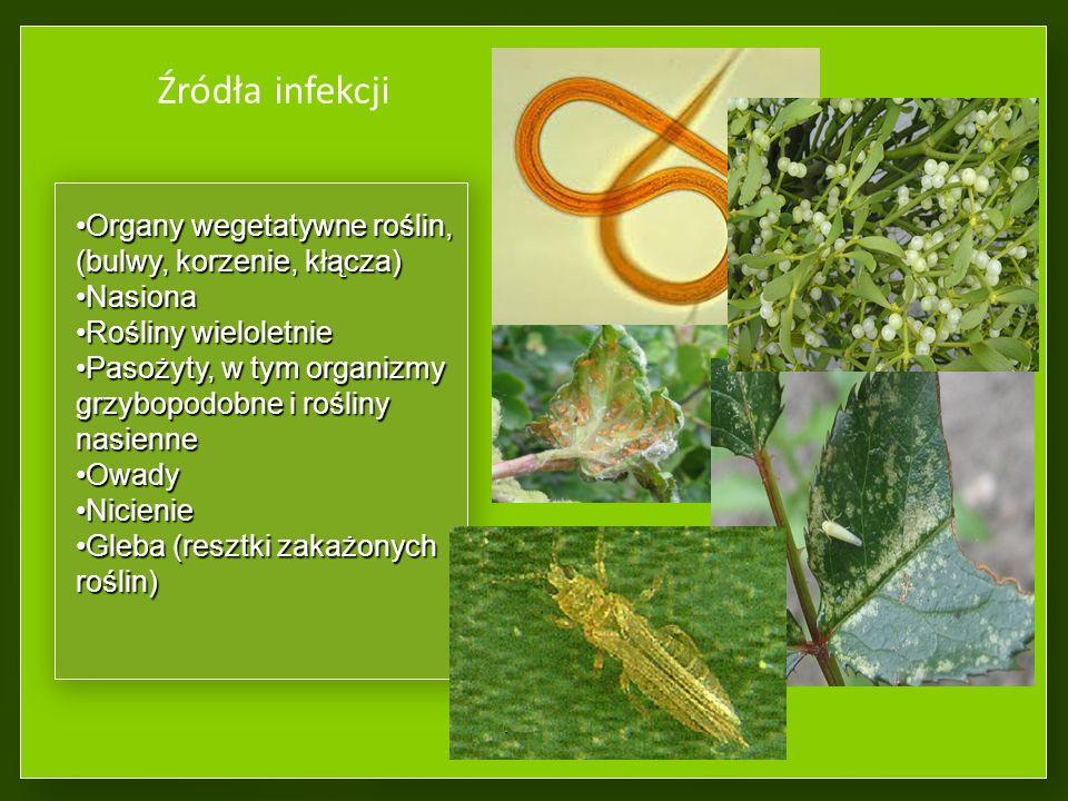 Źródła infekcji Organy wegetatywne roślin, (bulwy, korzenie, kłącza)