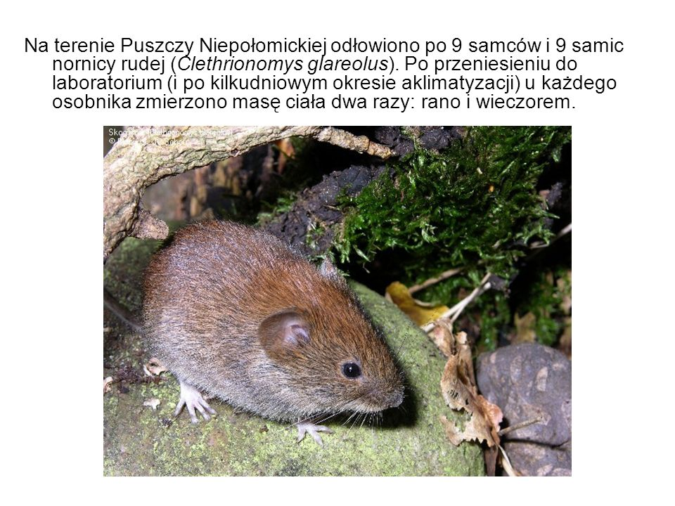 Na terenie Puszczy Niepołomickiej odłowiono po 9 samców i 9 samic nornicy rudej (Clethrionomys glareolus).